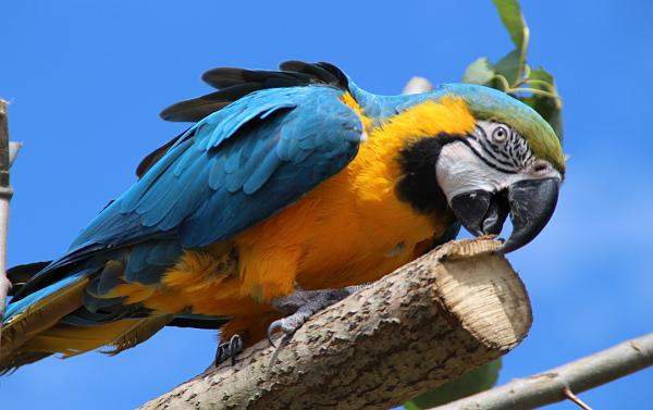Papoušci se na Krásném rozhodně nenudili, pořád měli něco na práci (Foto: Jan Potůček, Ararauna.cz)