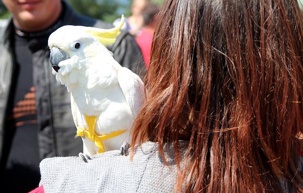 K Šumperku dorazili i velcí kakaduové, například tento kakadu žlutočečelatý přijel se svými majiteli až z Teplic (Foto: Jan Potůček, Ararauna.cz)