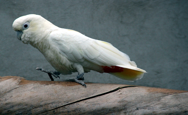 V době naší návštěvy byli kakaduové filipínští vůbec nejaktivnějšími papoušky ve voliérách manželů Černých (Foto: Jan Potůček, Ararauna.cz)