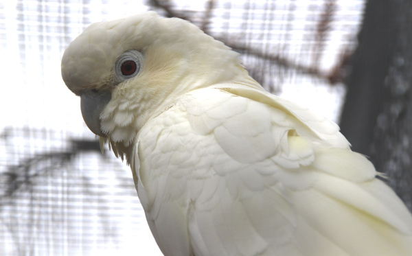 Nejčerstvějším přírůstkem v chovu manželů Černých jsou kakaduové filipínští, vůbec nejvzácnější druh kakaduů na světě (Foto: Jan Potůček, Ararauna.cz)