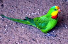 Papoušky nádherné v Austrálii může ohrozit pesticid. Vláda chce povolit silnější jed proti myším