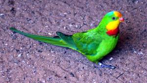 Papoušek nádherný