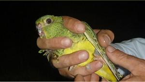Papoušek noční
