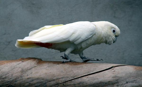 Je to nejaktivnější z papoušků, které chováme, říká o kakaduovi filipínském Martin Černý (Foto: Jan Potůček, Ararauna.cz)