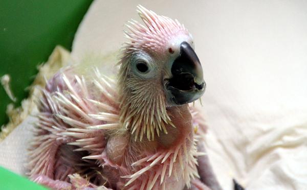 V odchovnách manželů Černých jsou vidět mláďata kakaduů v různých stádiích vývoje (Foto: Jan Potůček, Ararauna.cz)