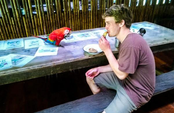 Tomás Lloyd z Austrálie strávil v peruánské rezervaci Tambopata jako dobrovolník tři týdny letos v lednu. Oblíbil si ho tento ara arakanga, který s ním každé ráno posnídal u stolu. (Foto: Tambopata Research Center)