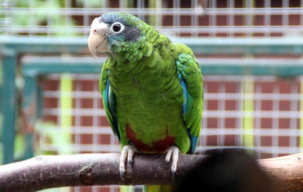 Amazoňan haitský nepatří mezi příliš často chované druhy papoušků (Foto: Jan Potůček, Ararauna.cz)