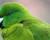 Papoušek zabiják: kakariki jednobarvý na ostrově Antipodes požírá mršiny tučnáků a zabíjí buřňáčky