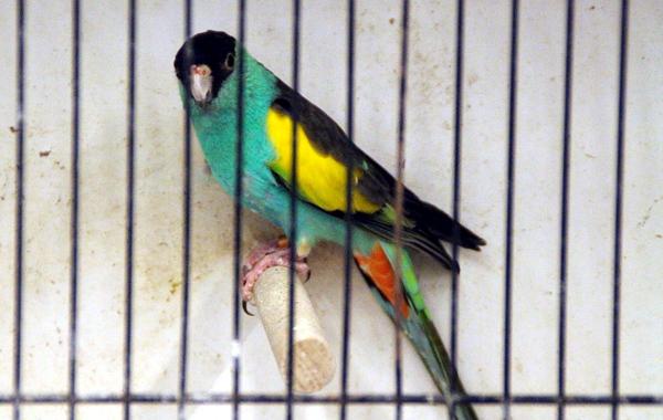 Ve Zwolle jsou tradičně k dostání i papoušci žlutokřídlí (Foto: Jan Potůček, Ararauna.cz)