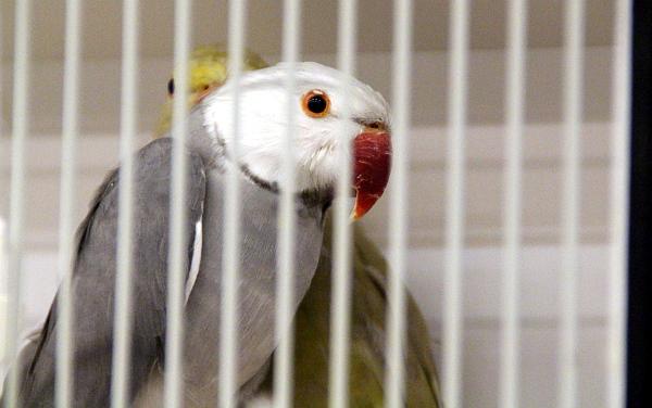 O mutační alexandry malé nebylo ve Zwolle nouze, včetně takovýchto kontrastně zbarvených ptáků (Foto: Jan Potůček, Ararauna.cz)