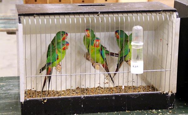 Mezi častěji nabízenými papoušky byli latamové vlaštovčí (Foto: Jan Potůček, Ararauna.cz)