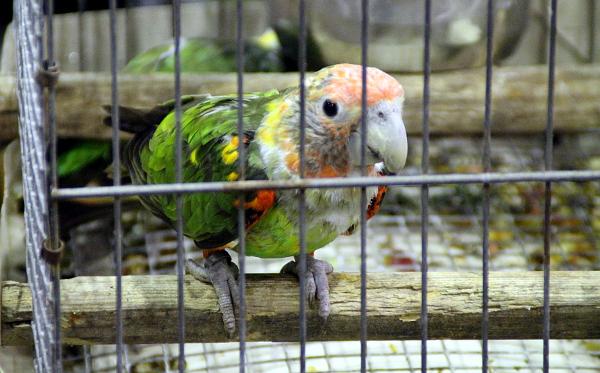 Africká vzácnost: papoušek šedohlavý (Foto: Jan Potůček, Ararauna.cz)