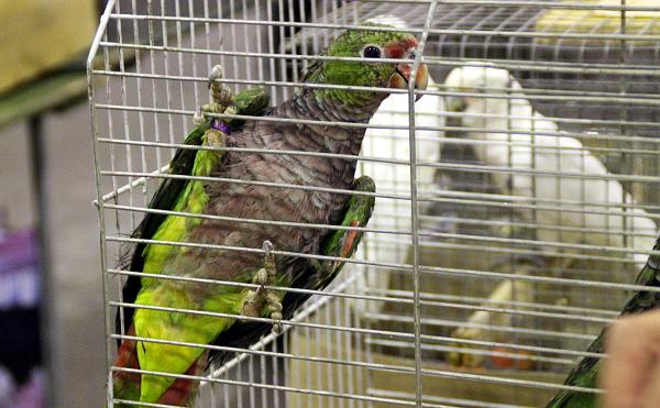 """Z """"jedničkových"""" (CITES I) ptáků byli k dostání amazoňani vínorudí (Foto: Jan Potůček, Ararauna.cz)"""