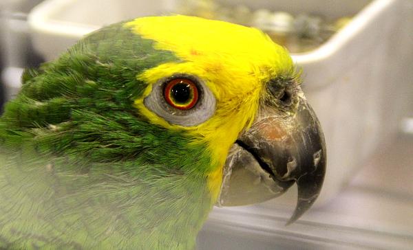 Největší raritou z amazoňanů byl tento amazoňan žlutohlavý marajónský, za kterého si italský chovatel řekl tisíc euro (Foto: Jan Potůček, Ararauna.cz)