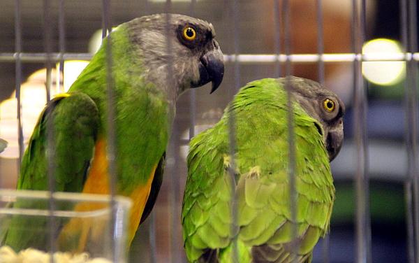 Zpátky k papouškům, na burze bylo několik zástupců afrického rodu Poicephlus, včetně nejznámnějšího papouška senegalského (Foto: Jan Potůček, Ararauna.cz)