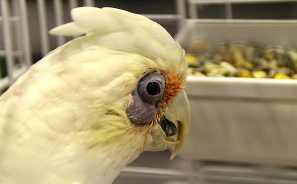 Tradičně nabízený druh ve Zwolle: kakadu naholící (Foto: Jan Potůček, Ararauna.cz)