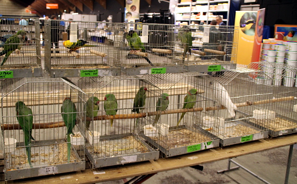 Prakticky všichni prodejci dodržovali podmínku prodeje ptáků z patřičně velkých klecí, ve Zwolle platí zákaz prodeje z přepravek. I ty však občas bylo na stolech vidět. (Foto: Jan Potůček, Ararauna.cz)