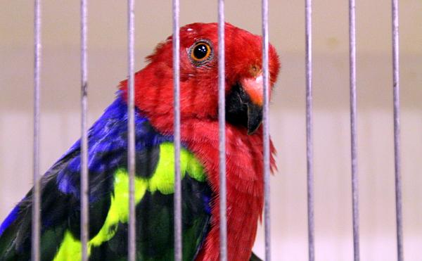 Z australských středně velkých druhů byl k dostání papoušek karmínový (Foto: Jan Potůček, Ararauna.cz)