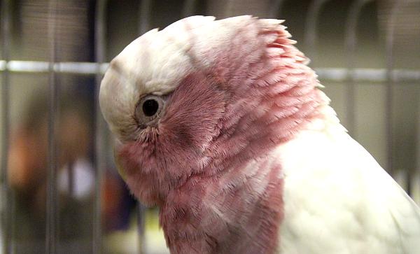 Samec kakadua růžového mutace lutino byl k mání za 2 500 euro (Foto: Jan Potůček, Ararauna.cz)