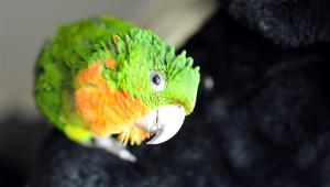 zvědavý papoušek