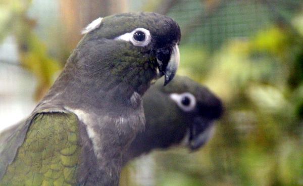 Jedněmi z největších křiklounů na výstavě jsou papoušci patagonští (Foto: Jan Potůček, Ararauna.cz)