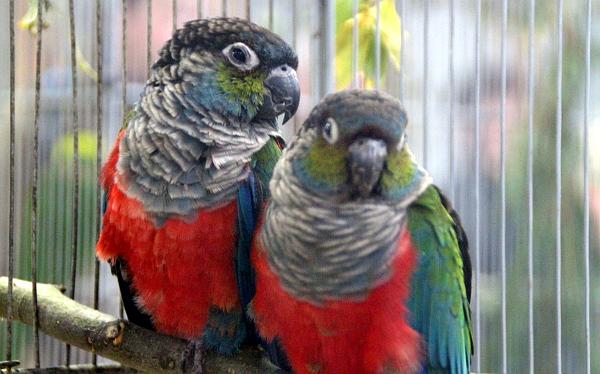 Další zástupce jihoamerických papoušků: pyrura červenobřichý (Foto: Jan Potůček, Ararauna.cz)