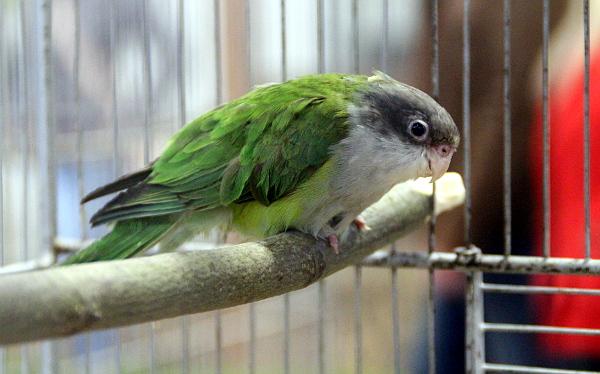 Přírodně zbarvený aymara šedoprsý je jedním ze zástupců menších jihoamerických papoušků na Exotice 2015 (Foto: Jan Potůček, Ararauna.cz)