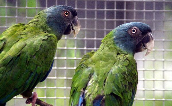 Mezi nejvzácnější papoušky vystavené na Exotice 2015 v Lysé nad Labem patří arové horští (Foto: Jan Potůček, Ararauna.cz)