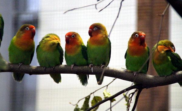 I zdánlivě obyčejné druhy papoušků vyniknou, pokud jsou vystaveny netradičně jako toto velké hejno agapornisů fišeri (Foto: Jan Potůček, Ararauna.cz)