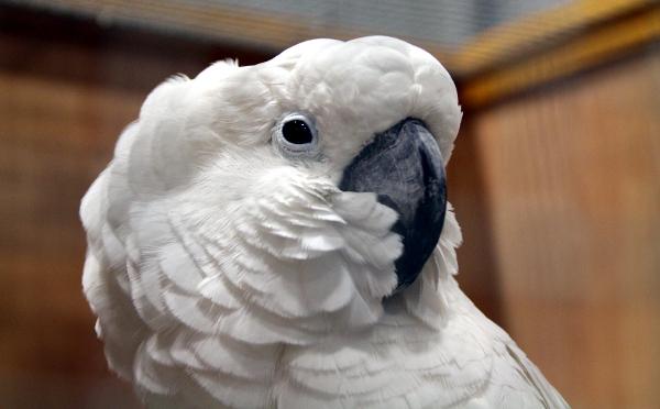 Detail hlavy kakadua bílého (Foto: Jan Potůček, Ararauna.cz)