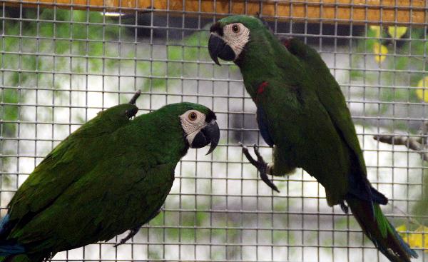 Poněkud stresovějšími ptáky jsou arové malí (Foto: Jan Potůček, Ararauna.cz)