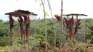 Arové arakamgy v Guatemale