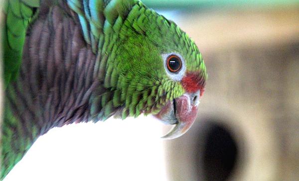 Papoušci manželů Jarošových jsou zvyklí na focení, někteří dokonce - jako tento amazoňan vínorudý - přímo pózovali (Foto: Jan Potůček, Ararauna.cz)