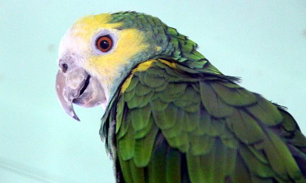 Mezi méně často chované druhy, na které byste narazili u manželů Jarošových, patří amazoňan žlutoramenný (Foto: Jan Potůček, Ararauna.cz)
