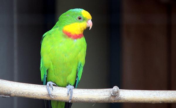 V kolekci australských druhů nechybí ani krásně zbarvený papoušek nádherný (Foto: Jan Potůček, Ararauna.cz)