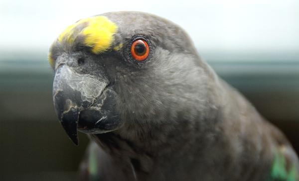 Zvědavý papoušek žlutotemenný (Foto: Jan Potůček, Ararauna.cz)