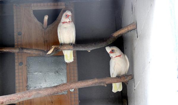 Chovný pár kakaduů tenkozobých ve voliéře pro australské papoušky bez zimoviště (Foto: Jan Potůček, Ararauna.cz)