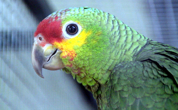 Letošní mládě amazoňana žlutolícího mexické formy (Foto: Jan Potůček, Ararauna.cz)