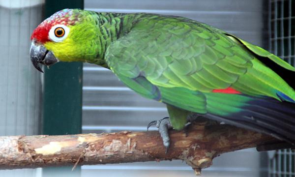 Amazoňan ekvádorský, který by nedávno uznán za samostatný druh nezávislý na amazoňanovi žlutolícím (Foto: Jan Potůček, Ararauna.cz)