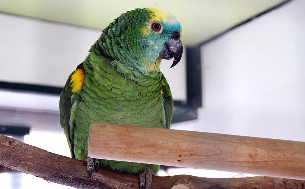 Jeden z mnoha amazoňanů modročelých v chovu Papouška Říčany (Foto: Jan Potůček, Ararauna.cz)