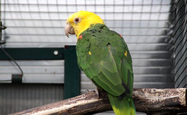 Hezky vybarvená samice amazoňana velkého - oratrixe (Foto: Jan Potůček, Ararauna.cz)