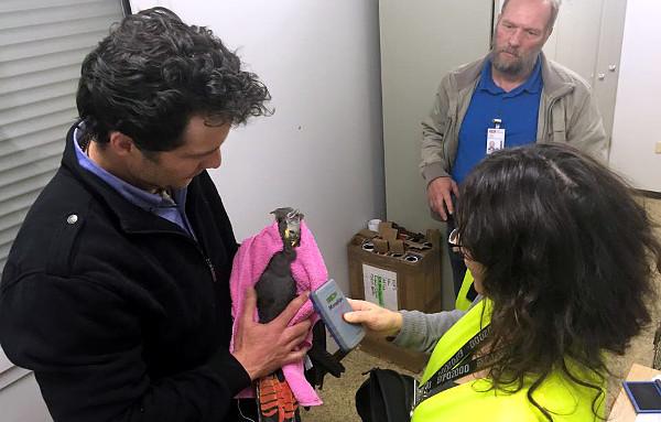 Daniel Gowland z Priam Psittaculture Centre Research & Breeding (PPC) asistuje při výstupní kontrole vyvážených kakaduů hnědohlavých na mezinárodním letišti v Sydney (Foto: ACTP & Simon Degenhard)