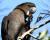 Rozsáhlé sčítání kakaduů hnědohlavých na Klokaním ostrově: minimálně 454 ptáků v 17 hejnech