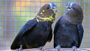 Kakadu hnědohlavý (Foto: Simon Degenhard, Aviarilife Magazine)