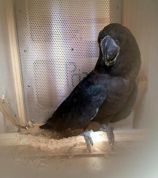 Snímek kakadua hnědohlavého v přenosce, který zveřejnilo sdružení ACTP na svém profilu na Facebooku