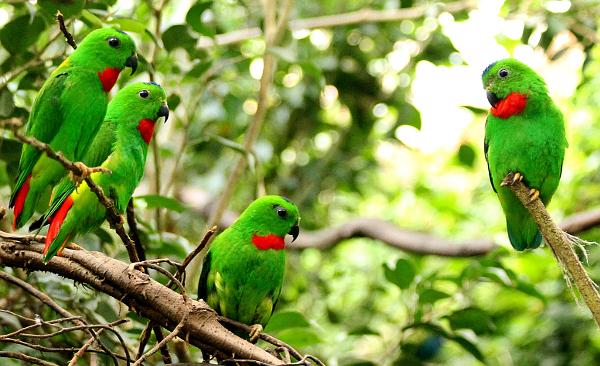"""Další """"skleníkový"""" druh papoušků, lorikulové korunkatí (Foto: Lubomír Palkovič)"""