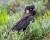 Kakaduům bělouchým hrozí, že do pěti let jich v přírodě zbude jen polovina