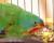 Latam vlaštovčí byl oficiálně zařazen mezi kriticky ohrožené druhy v Červené knize IUCN
