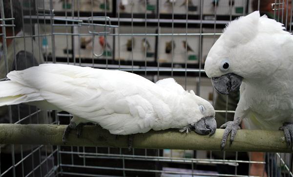 Harmonzující pár kakaduů bílých (Foto: Jan Potůček, Ararauna.cz)