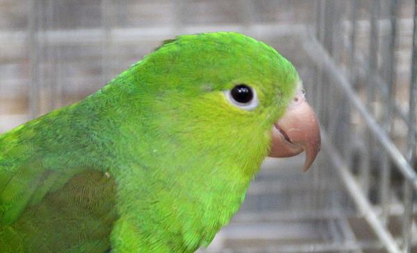 Na ptačích burzách nepříliš častý druh papouška: tirika zelený (Foto: Jan Potůček, Ararauna.cz)